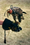 Image of birds. Falcon on hand – training
