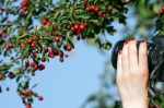 Image of photographer. Photographer shooting nature photo – hawthorn fruits