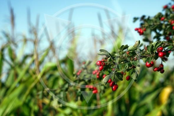 Hawthorn fruits branch