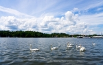 Image of swan. Flock of swans, beautiful Masurian landscape