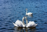 Image of swan. Three swans, two in love and…