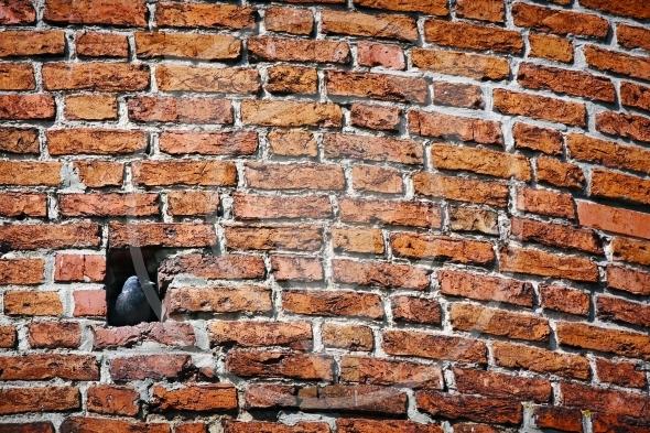 Brick wall and Jackdaw