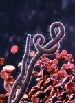Image of ebola. Ebola virus under microscope