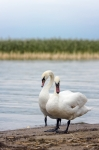 Image of birds. Swans