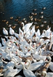 Image of birds. Flock of swans and ducks