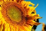 Image of warm. Large  sunflower blue background