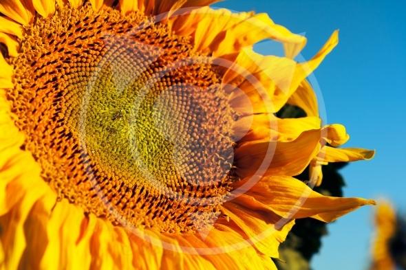 Large  sunflower blue background