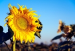 Image of flowers. Single Sunflower on plantation