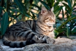 Image of pet. Tabby Cat taking a nap