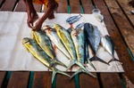 Image of fishing. Fresh fish tuna and Dorada Gilt-head bream