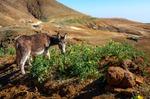 Image of CaboVerde. Donkey eating thistle, Santo Antao landscape