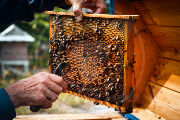 Beehive colony frame, bees flying around