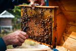 Image of teamwork. Beehive colony frame, bees flying around