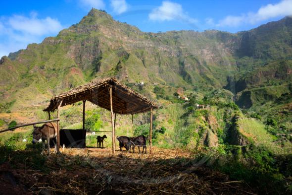 Cabo Verde farm animals in mountains of Santo Antao